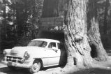 Albert Karvonen in a 1953 Chevrolet vehicle that is backed into a large, hollow tree, California.