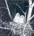 Two Great Horned Owls in their nest, Sherwood Park, Alberta. Image shot by Albert Karvonen with a...