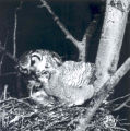 A Great Horned Owl and chick in their nest, Sherwood Park, Alberta. Image shot by Albert Karvonen...