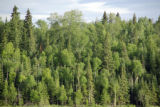 Boreal Forest at Long Lake