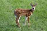 Fawn of White-tailed Deer