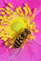 Hover fly on rose flower
