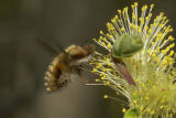 Bee fly feeding on Willow lowers