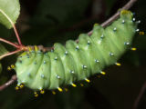 Columbia Silk Moth Caterpillar-lateral