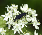 Long-horned Beetle obtaining food from a flower a Cow Parsnip
