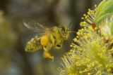 Honey bee pollinating a Willow-1