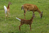 Mother white-tailed deer with two fawns