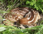 Curled Fawn of White-tailed Deer