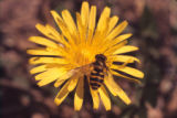 Hover fly on common dandelion flower