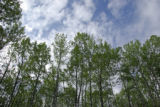 Aspen, Blue Sky and Clouds