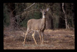 White tailed Deer - doe