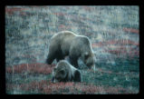 Grizzly Bear - sow and cub