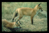 Red Fox - pups