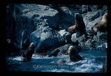 Steller and California sea lions